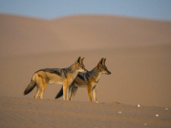 Les chacals du Namib